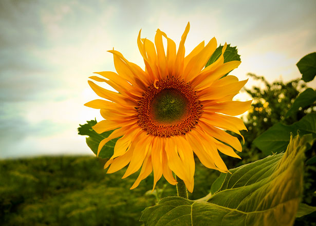 summer solstice - sunflower