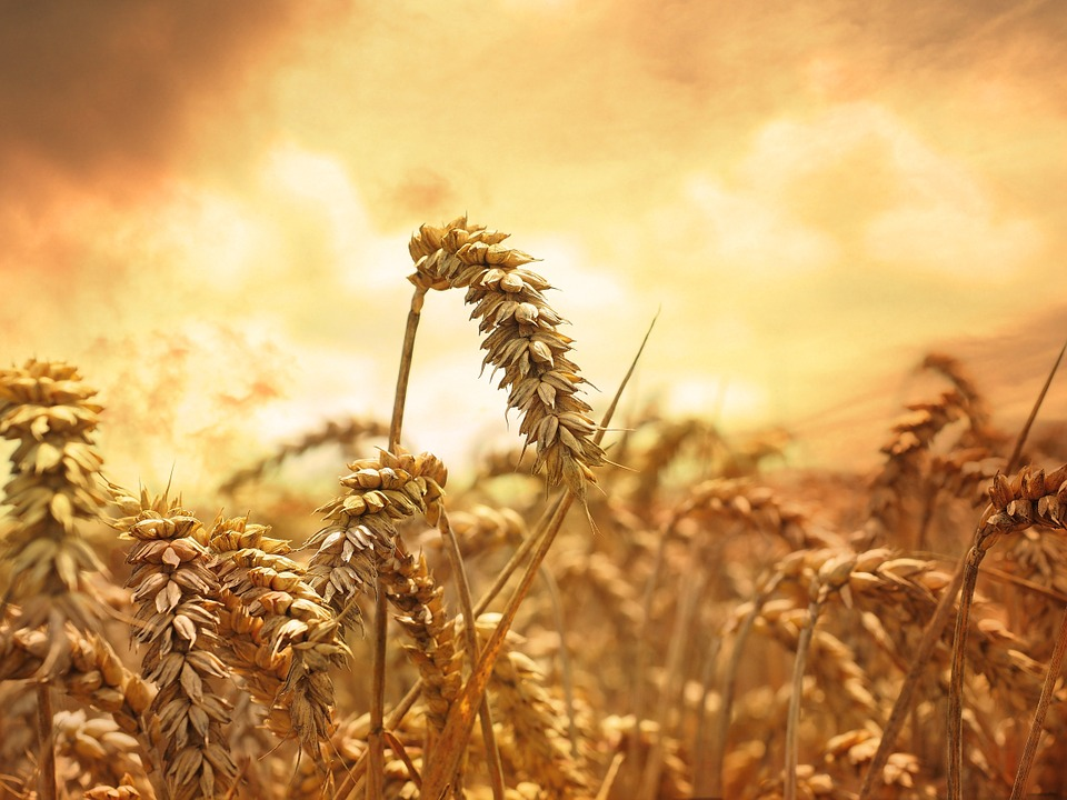 lughnasadh wheat field